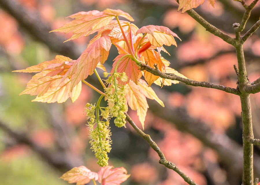 Chiddingstone Castle maple leaves catkins