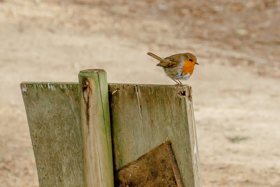 Chiddingstone Castle robin