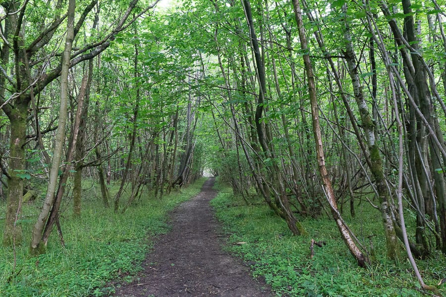 Pine plantation May coppice path