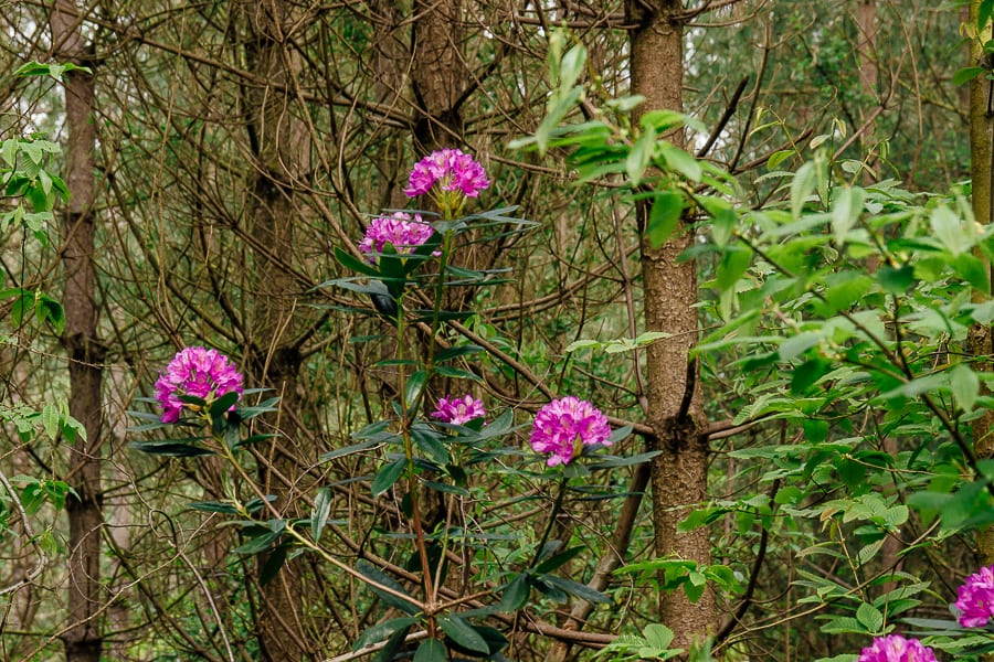 Rhododendrons amid pines