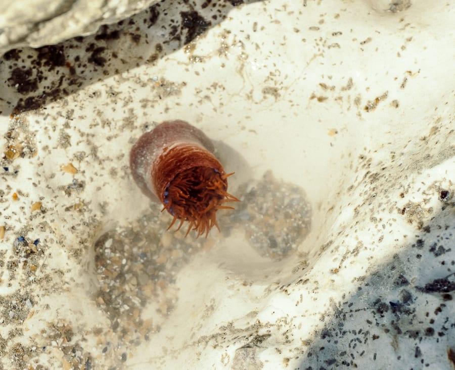 Rock pooling beadlet anemone