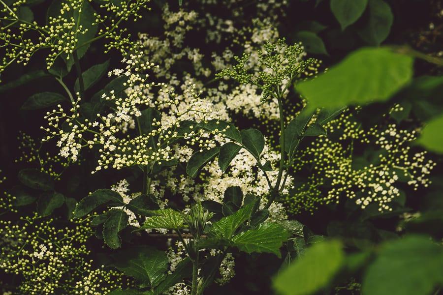 Elderflowers in hedgerow