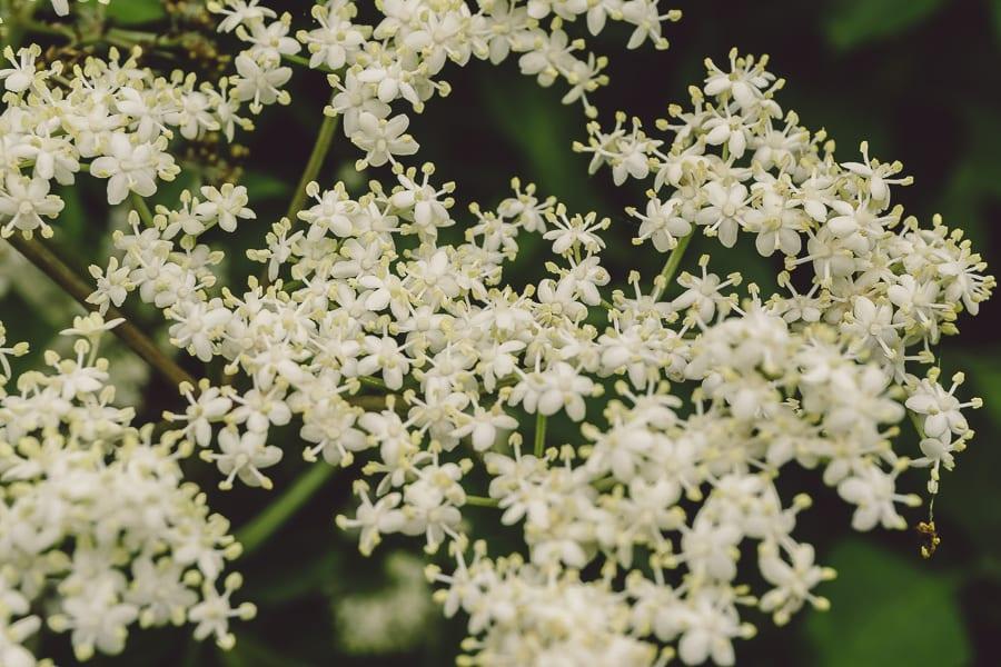Elderflowers tiny flowers