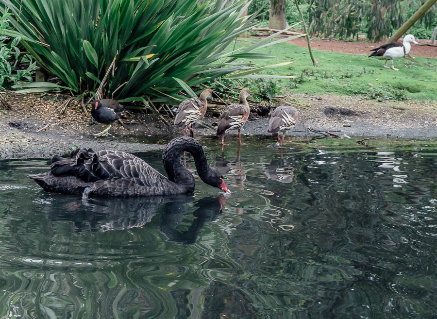 London Wetland Centre black swan whistling ducks