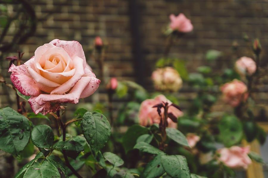 Pink frame roses