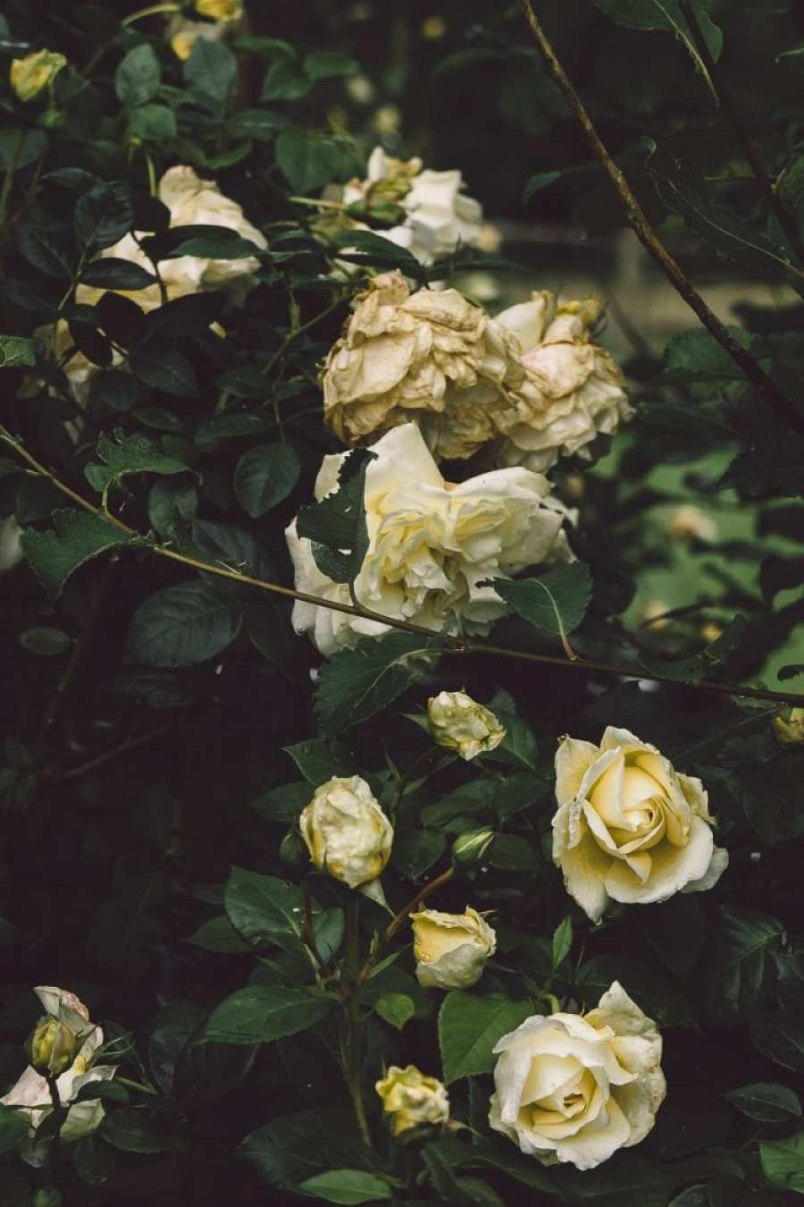 Yellow roses and rain