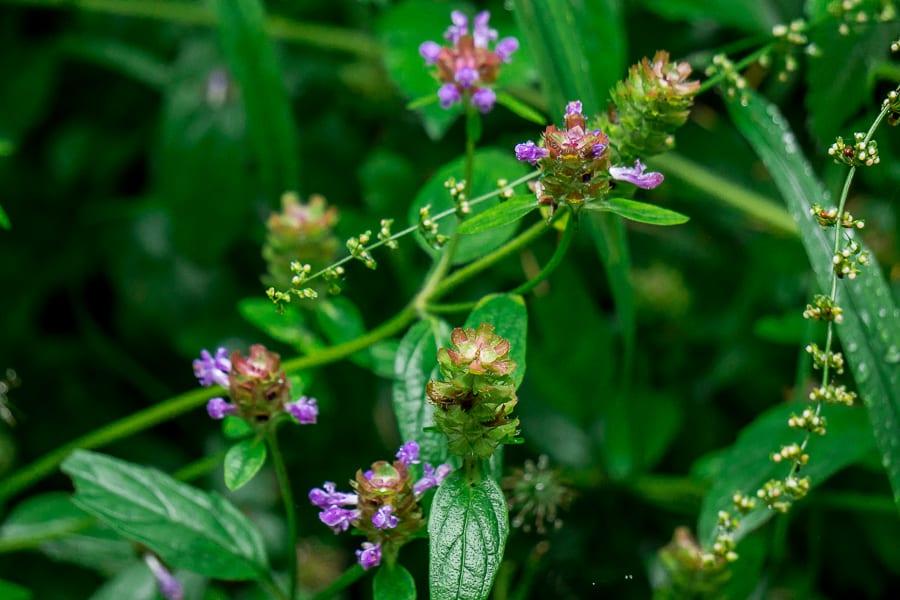Prunella vulgaris selfheal
