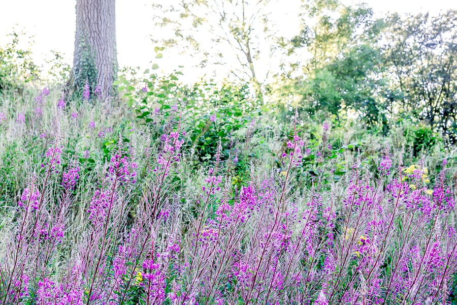Rosebay willowherb rail embankment