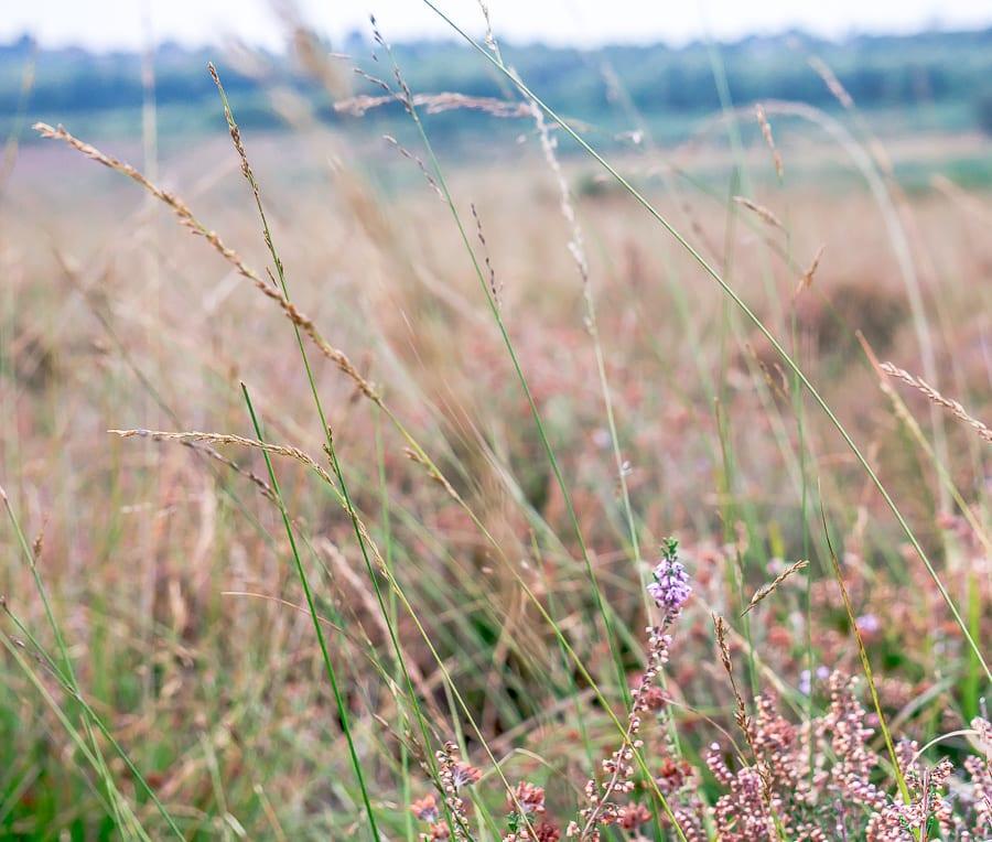 Heather among grasses on heathland