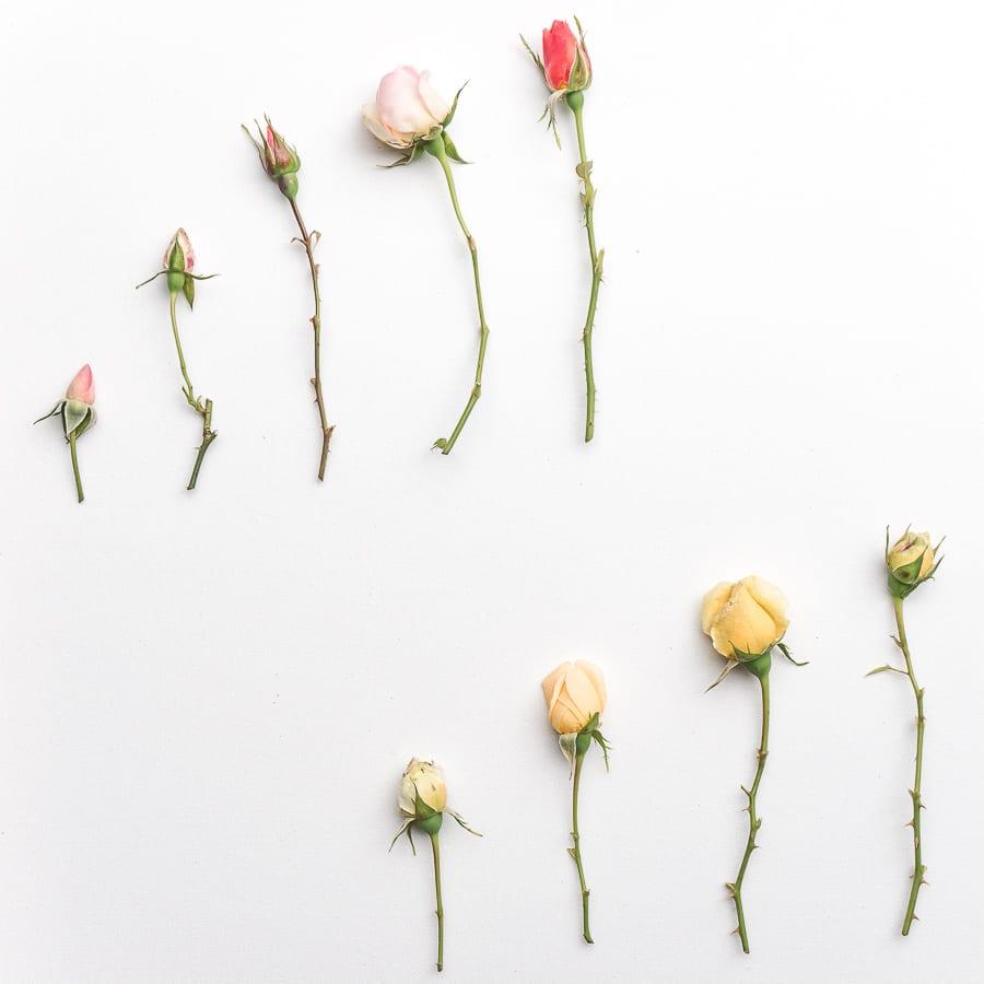 Nine rose buds