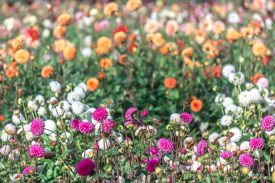 Withypitts Dahlias contrast