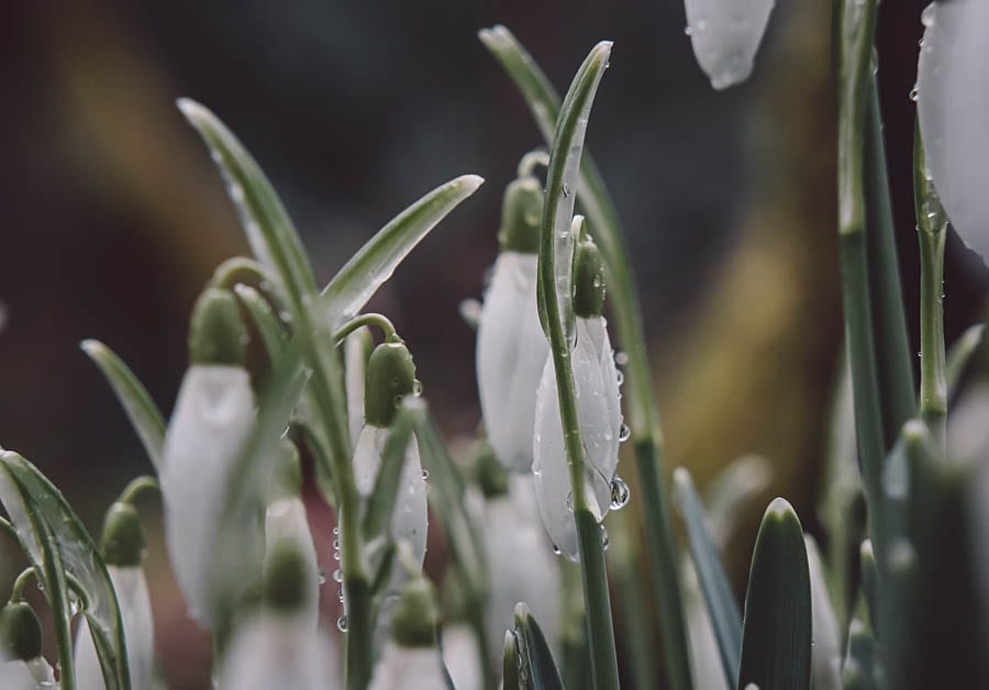 Snowdrop facts rain