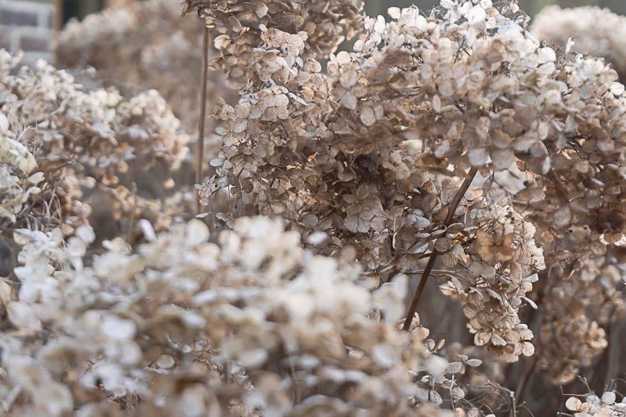Winter flowers annabelle hydrangea