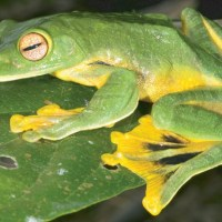 Species Profile: Vietnamese Flying Frog