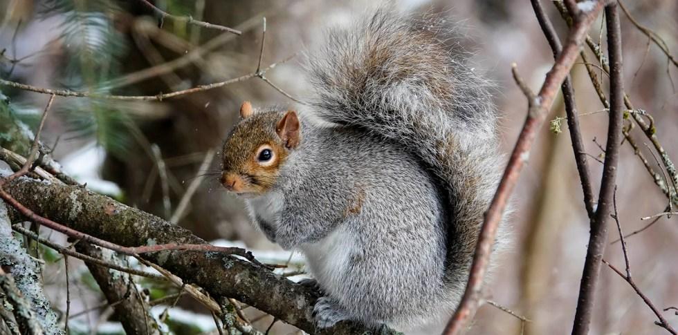 Eastern Grey Squirrels prefer dense woodlands with diverse vegetation.
