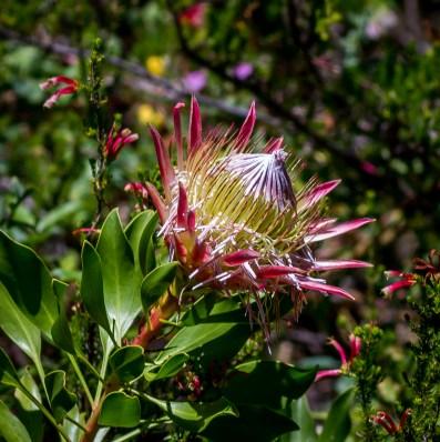 Kirstenbosch-18