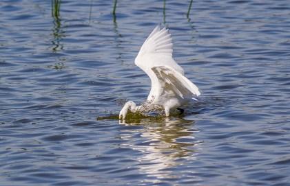 Egret Fishing-8