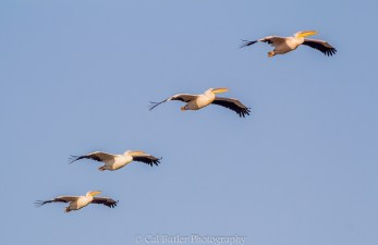 Great White Pelicans 1