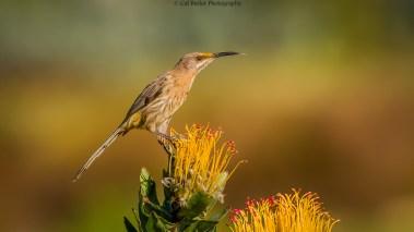 cape-sugarbird-1