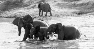 elephants-6