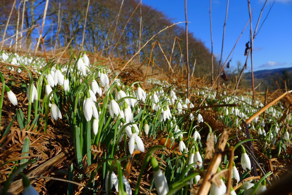 Snow Drops in the Great Out Doors of Scotland