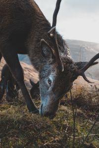 Red Deer in the Cairngorms