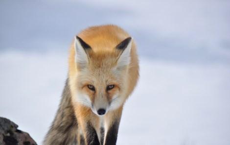 fox full speed ahead
