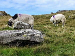 Sheep in Lewis & Harris, Outer Hebrides