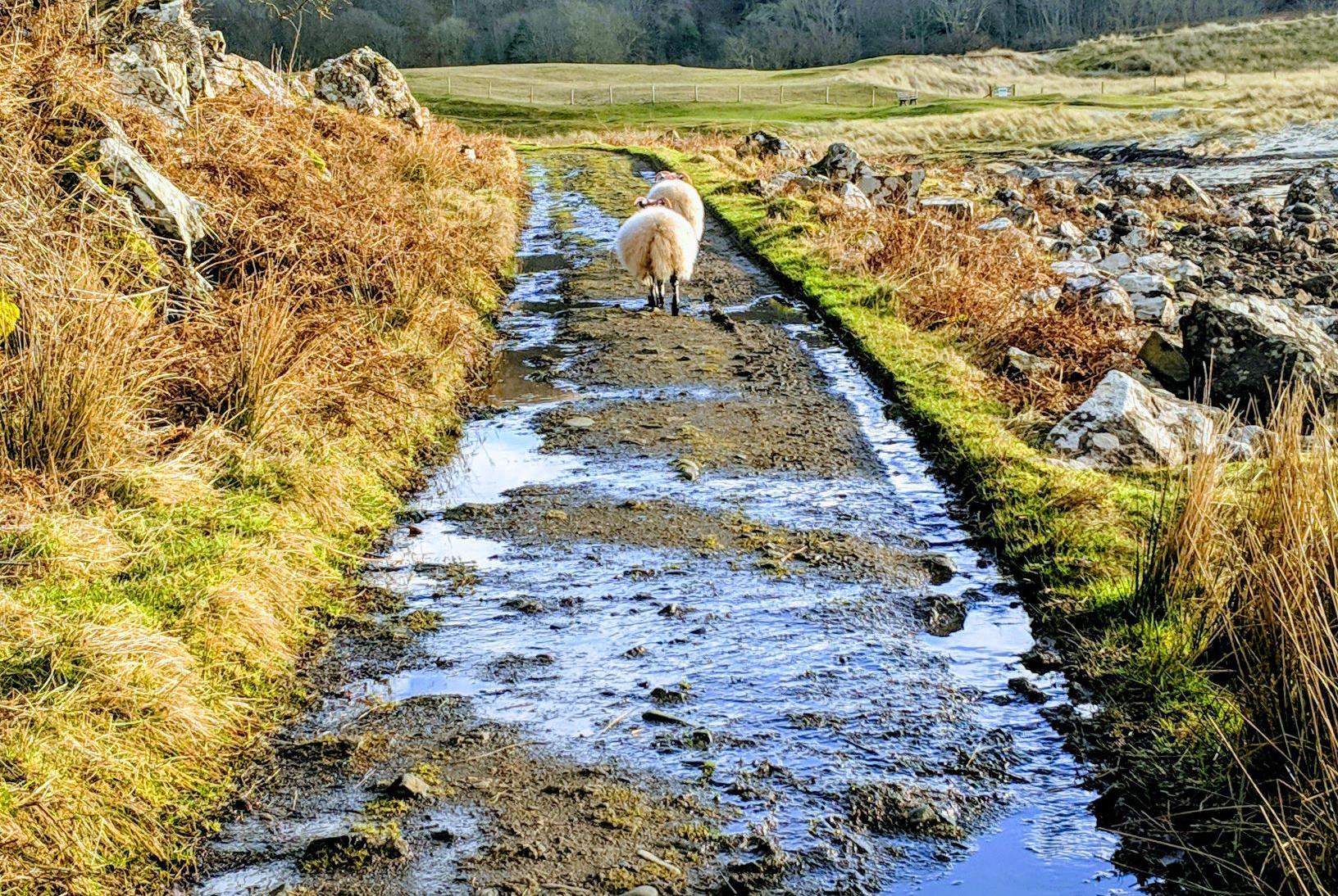 Sheep walking near Calgary Bay on the Isle of Mull, Scotland