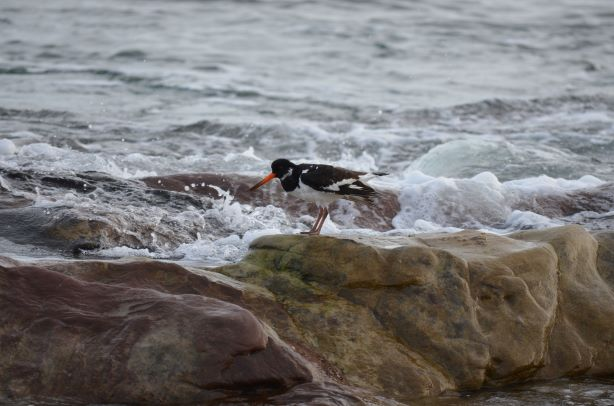 Bird on rock at Portmahomack
