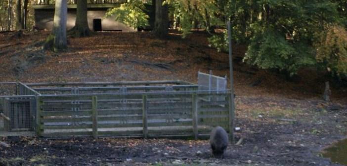 Wildschweingatter im Kanton Zürich geplant