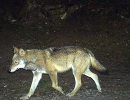 Ein Wolf wandert im Calandagebiet an einer Kamera vorbei.