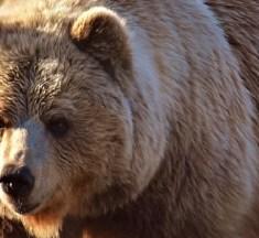 Jagd beeinflusst die Evolution von Braunbären