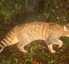 Kanton Genf hat wieder Wildkatzen