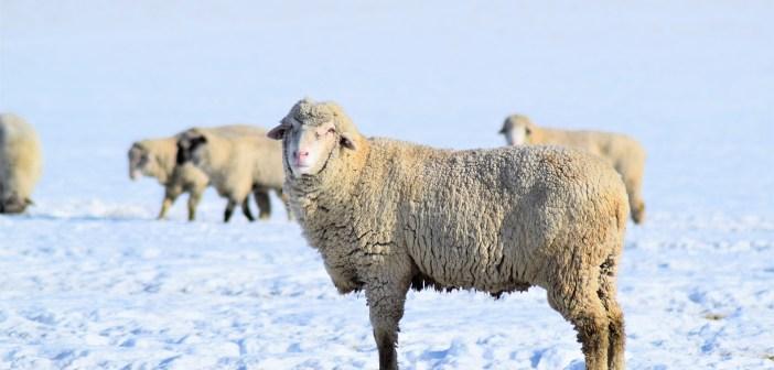 Thurgau: Hobby-Jäger erschiesst vier Schafe