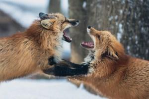 Fuchsjagd: 10'000 Schweizer Jäger quälen Hundeartige