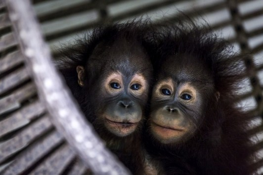 Indonesia, East Kalimantan, Samboja | 2018 03 28 | Tegar and Gonda, orphaned orangutans in Jejak Pulang-FOUR PAWS rehabiltation center.