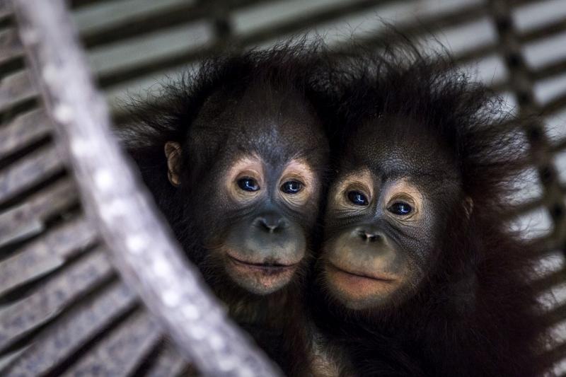 Indonesia, East Kalimantan, Samboja   2018 03 28   Tegar and Gonda, orphaned orangutans in Jejak Pulang-FOUR PAWS rehabiltation center.