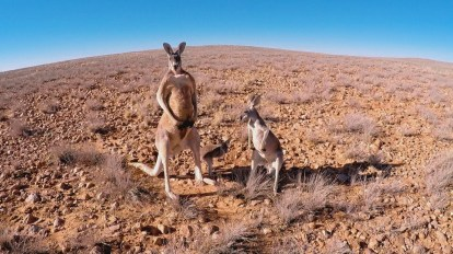 Kangaroo Family-®Hopping Pictures