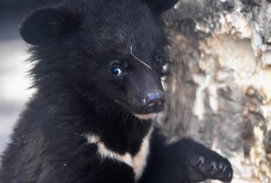 Bärenwelpe