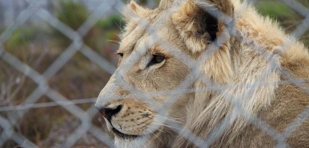 Löwen Zuchtfarm