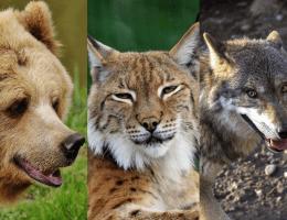 Bär Luchs Wolf
