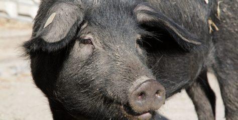 Schwarzes Alpenschwein ist wieder in der Schweiz