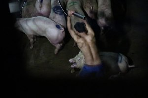 Kambodscha Schweineschlachtung