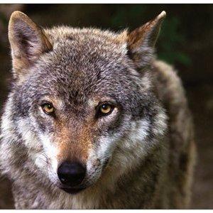 Grusskarte Wolf
