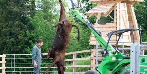 Weideschlachtung: Ist dies noch Tierschutz?