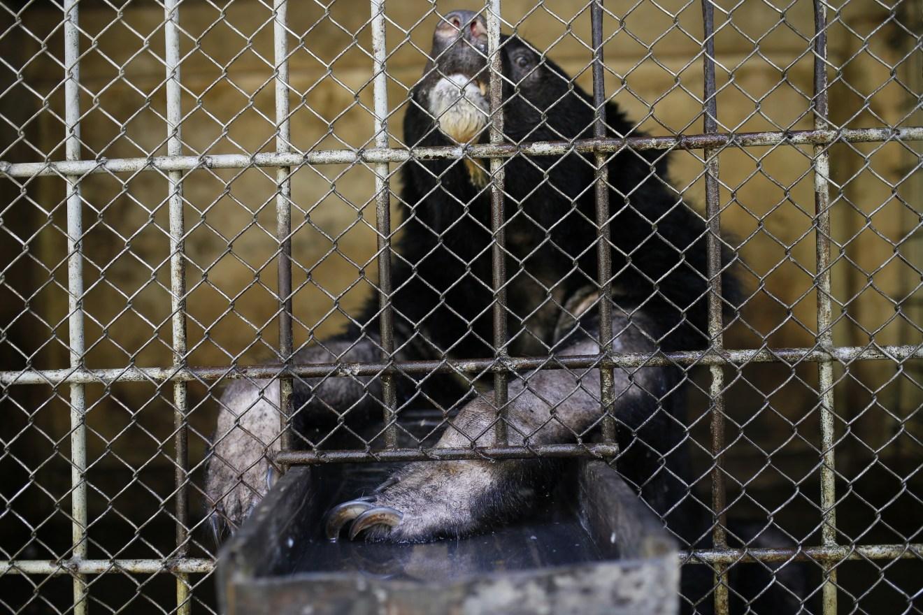 Vietnam: Gallebären sterben kurz vor ihrer Rettung