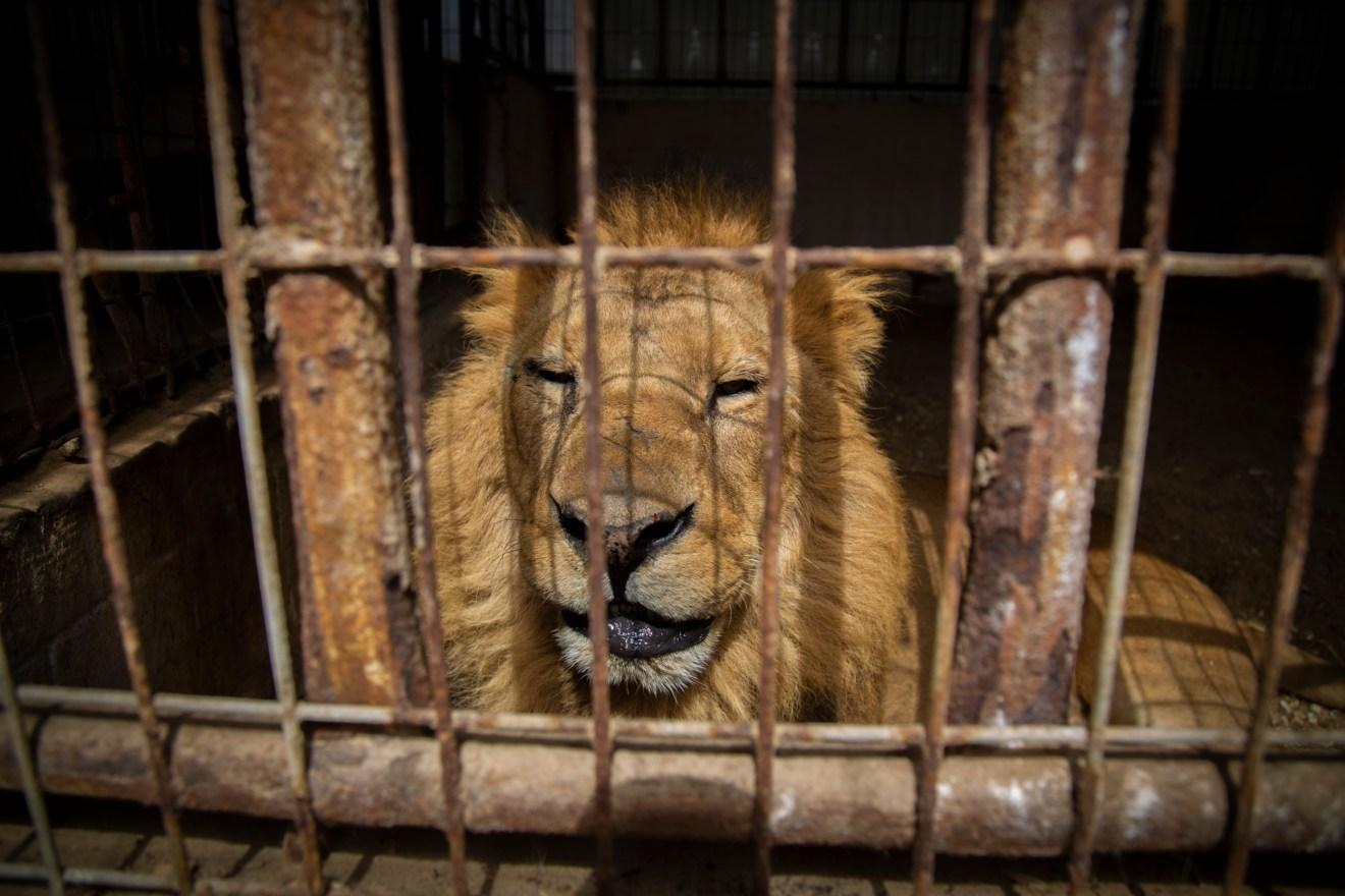 Gaza: Zoobesitzer plant Krallen weiterer Löwen zu entfernen