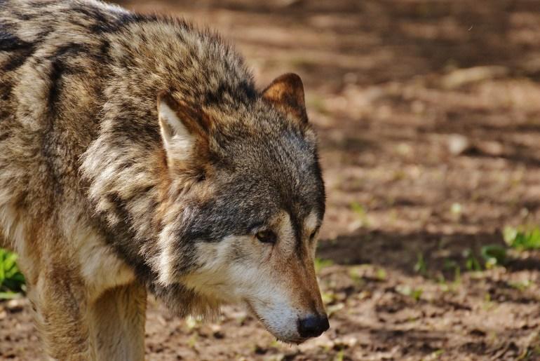 Deutschland Wolfs-Abschuss leicht gemacht