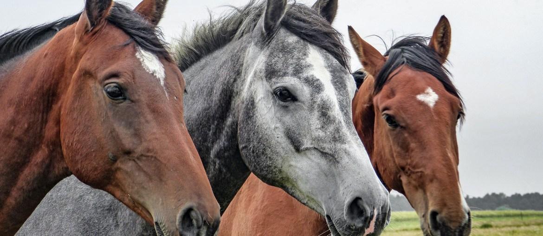 Die Ursprünge und historische Geschichte moderner Pferde